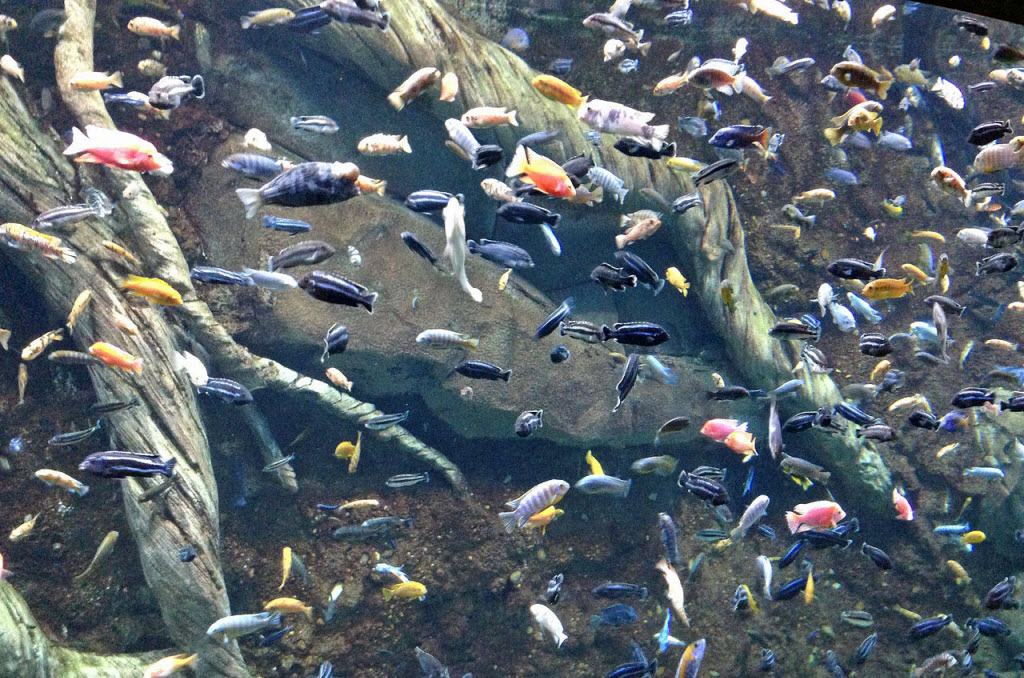 Lake Malawi Cores Hold Clues To Cichlid Diversity