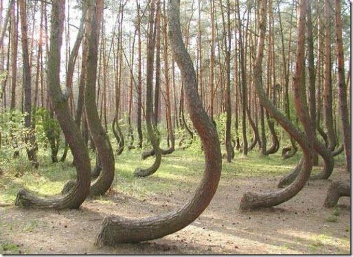 El Bosque Torcido de Polonia 27_thumb
