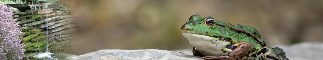 grenouille_verte