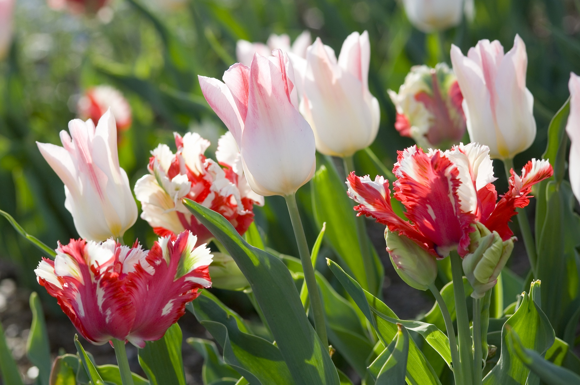 Early Fall Hd Wallpaper Plant Tulips This Fall For Spring Beauty Ladell Landscaping