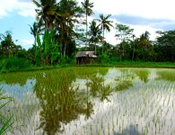 Rice is a major contributor of methane, a very potent greenhouse gas