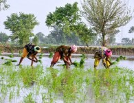 Rice-farming-in-Pakistan-Faseeh-Shams-IWMI-500x332
