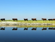 Cattle in the Barotse flood plain, Zambia, by Trinidad del Rio / GLF 2014 photo competition