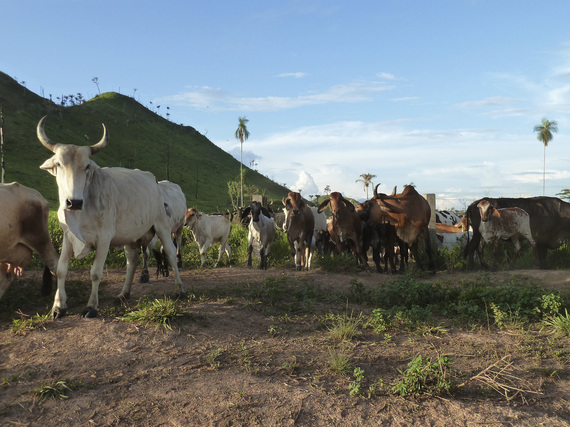 Cattle ranching in São Félix do Xingu, in the Brazilian Amazon. Photo: Peter Ellis/TNC
