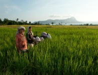 Weeding the rice fields at Dintor village
