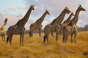 Jirafas, especie en peligro de extinción