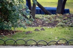Plaga de ratas en París; invaden hasta las banquetas