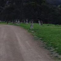 Die starrende Känguru-Gang