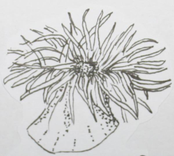 Anemone Di Mare Disegni Fiori Idea Immagine