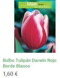 Bulbo Tulipán Darwin Rojo