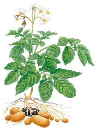 planta patata