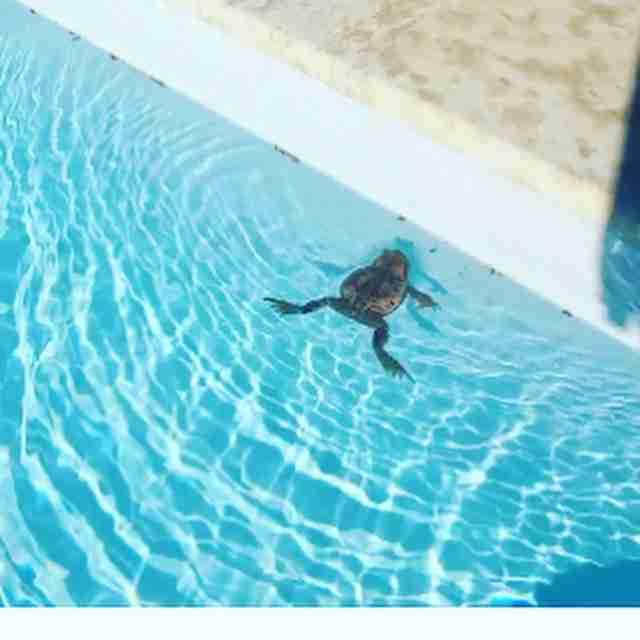 villa anna maria frog guest in pool