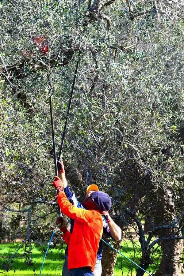 olive picking italy puglia