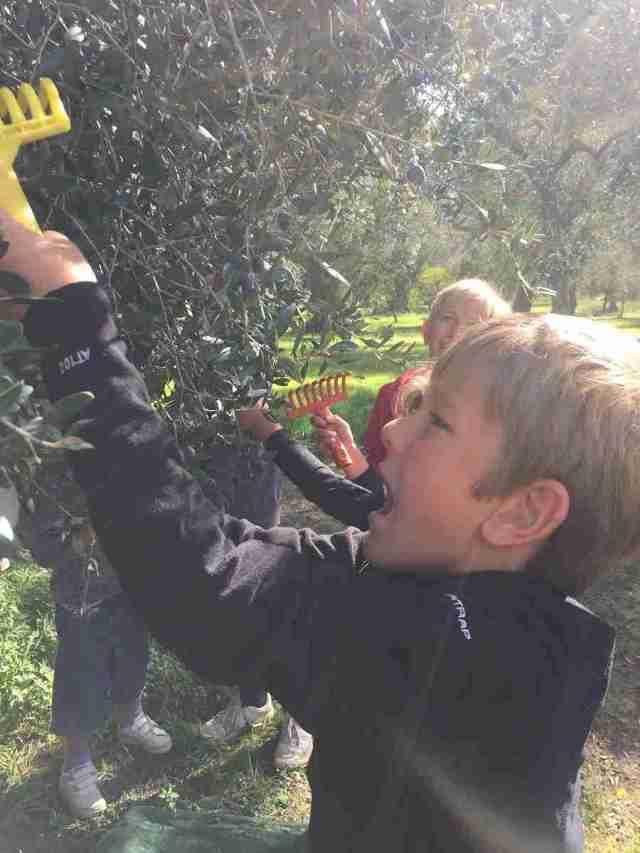 Joseph picking olives