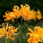 lycoris-aurea-yellow-spider-lily-national-day-flower