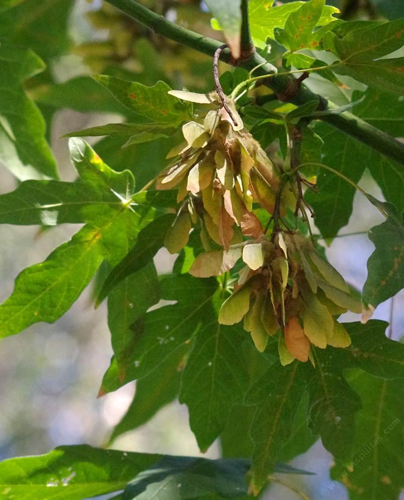 Charmful Big Leaf Maple Acer Big Leaf Maple Maple Tree Seeds On Nose Maple Tree Seeds Helicopter Winged Seeds houzz-02 Maple Tree Seeds