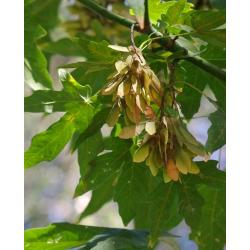 Small Crop Of Maple Tree Seeds