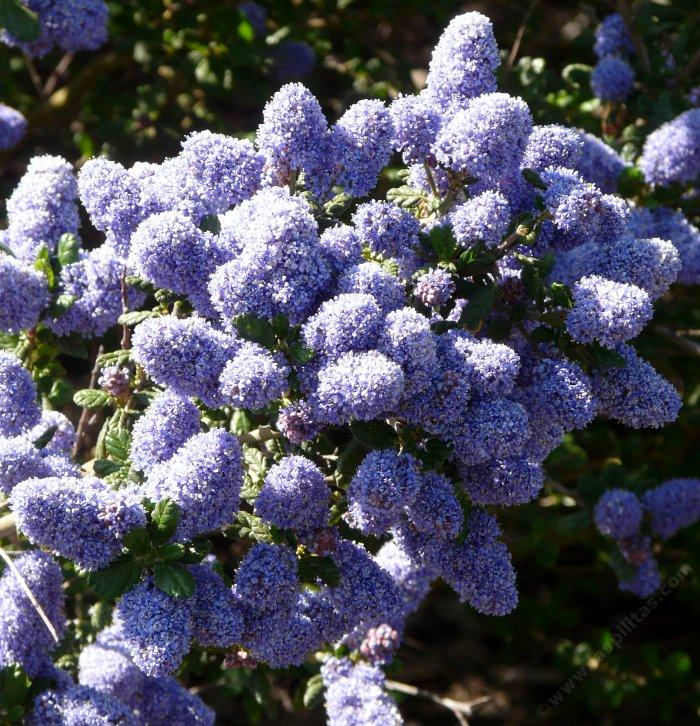 Ceanothus Celestial Blue