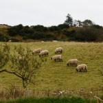 Sheep roam the pastures and add a sense of peace.