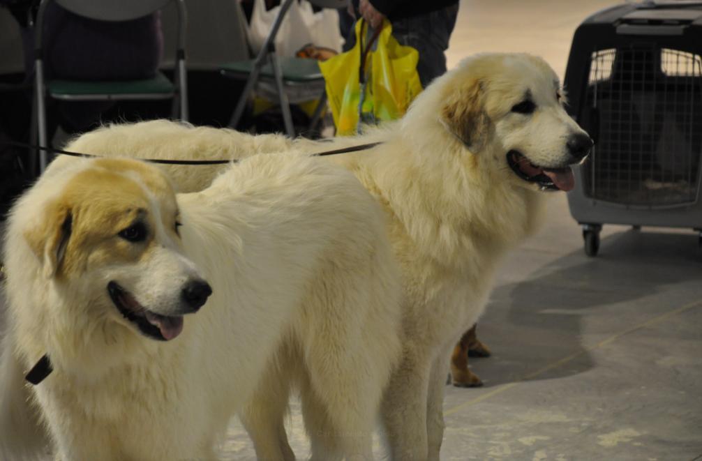 concorso-bellezza-cani-latina-19
