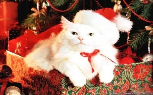 Cute Wallpapers Of Kittens And Puppies Cute Cat Image With Christmas Cat