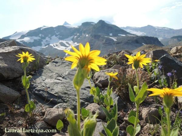 Mt Rainier flowers