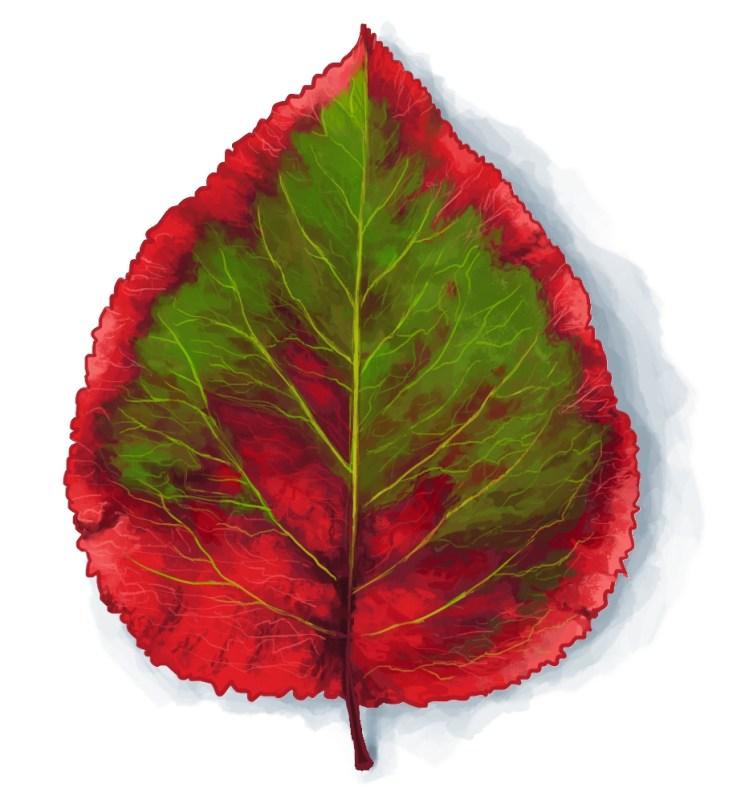 A Leaf Study
