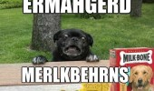 A funny black pug dog overly excited for Milk-Bone dog treats. Ermahgerd Merlkberhns.