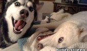 A husky dog that is excited and a dog that is sleeping with its eyes opened. Hyper awake and hyper asleep.