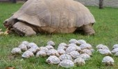 A picture of a lot of baby tortoises next to a giant tortoise. Quick, to the mothership!