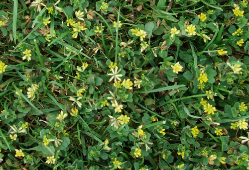 how to kill vetch weed in lawn