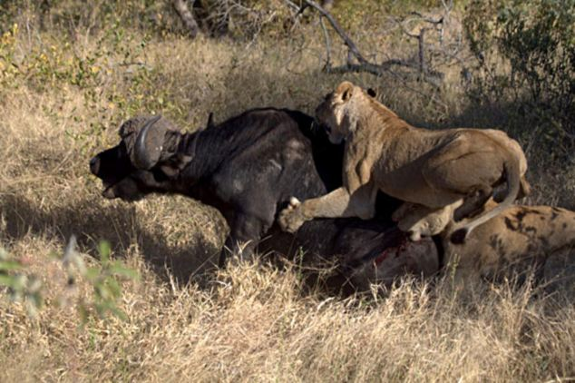 Fox Animal Wallpaper Lion Vs Buffalo Lazer Horse
