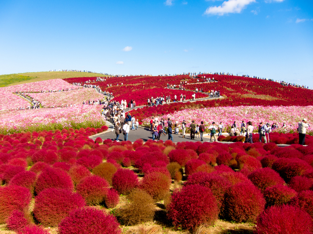 Fall Out 4 Hd Wallpapers Behold The Bright Red Beauty Of Kochia Hill Japan Lazer