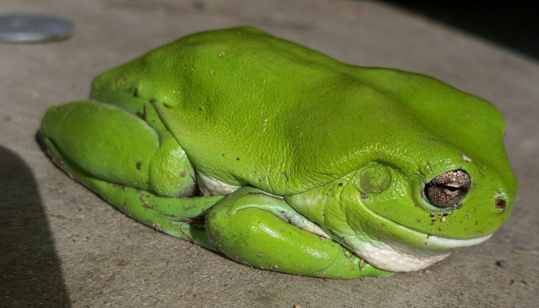 Free Fall Animal Wallpaper Learn About Nature Green Tree Frogs Learn About Nature