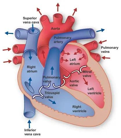 Anatomy of the Heart \u2013 Free CPR Training