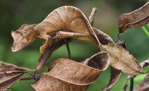 leaf-tailed-gecko-camo