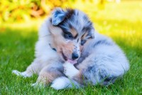 Why Your Dog Licks and Chews His Paws May Surprise You ...