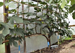 Fun Spain How To Prune A Large Fig Tree Video With Ripe Fruits Figs Up North How To Prune A Fig Tree Espalier Fig