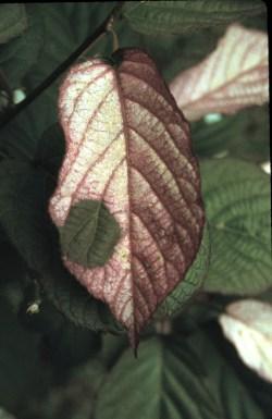 Variegated leaves of A. kolomikta