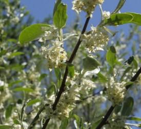 Autumn olive blossoms