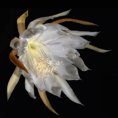 The Night-Blooming Orchid Cactus