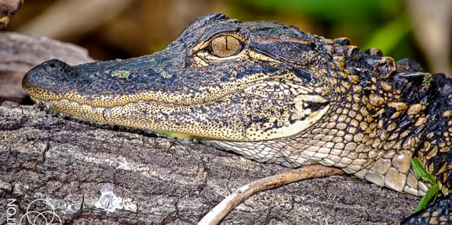 Alligator121