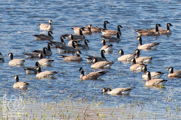 Aleutian Cackling Geese