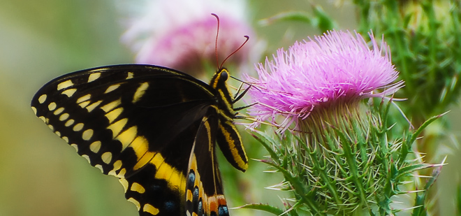 Swallowtail Butterflies of the American Southeast
