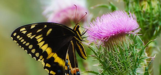 Swallowtail Butterflies of the American Southeast