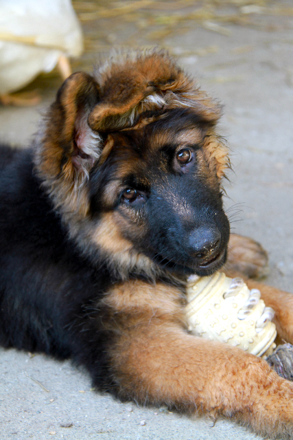 german-shepherd-female-long-coat-puppy-with-kong