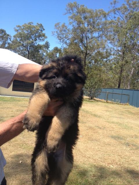 german-shepherd-long-coat-gorgeous-male-pup