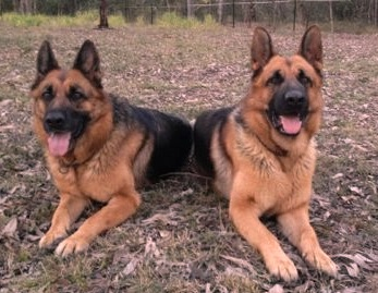 german-shepherd-mother-and-son-Comet-and-Zues