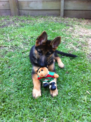 german-shepherd-puppy-with-her-favourity-toy