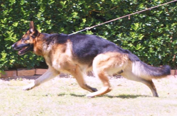 german-shepherd-stud-dog-Leishjaclyn-wave-dancer-on-the-move
